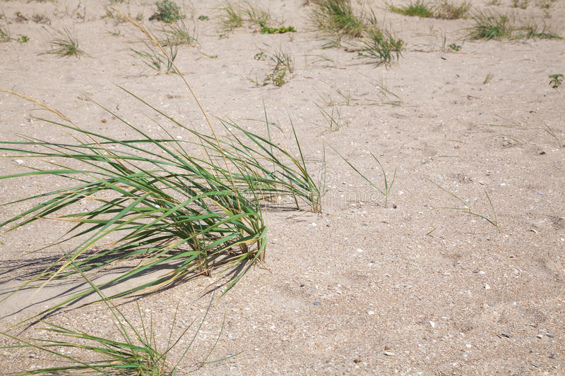 Bushes of green grass on a sandy beach. On a bright summer sun stock image
