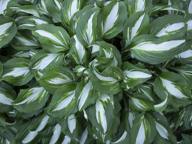Bushes hosts with striped green-white leaves. Bushes hosts with striped green and white leaves royalty free stock image