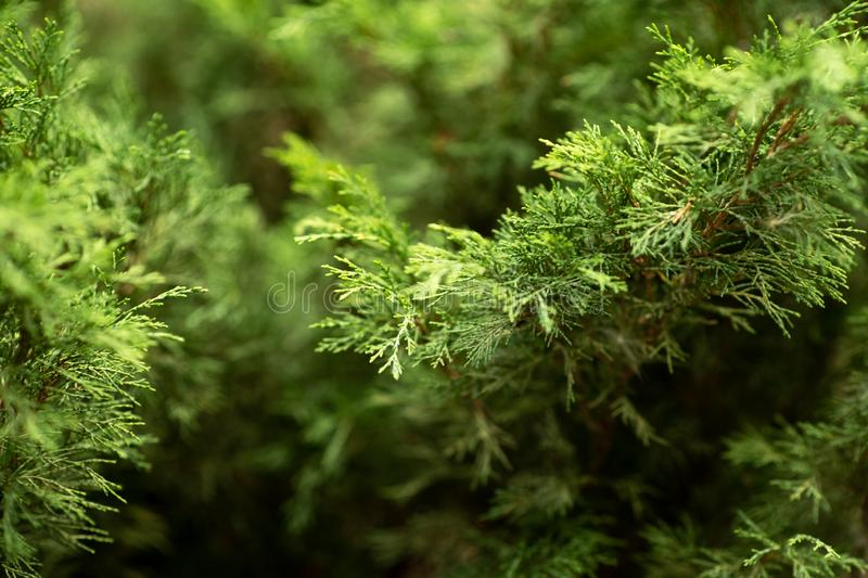Bushes of the Juniper in the Park. Beautiful green Bush royalty free stock images