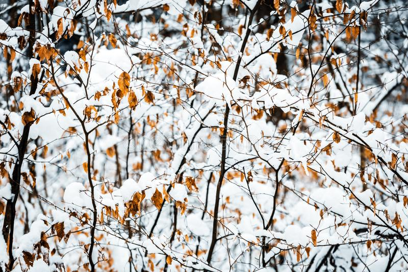 Bushes and shrubs at winter season, new snow on the leaves and branches stock photography