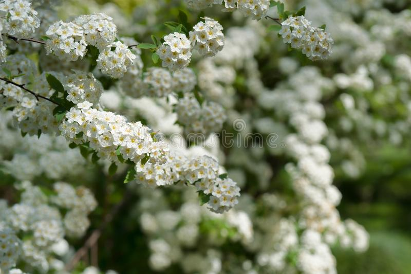Bushes with small white flowers stock photo image of bush bushes download bushes with small white flowers stock photo image of bush bushes 100451370 mightylinksfo