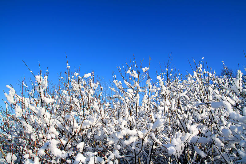 Bushes In Snow Royalty Free Stock Photography