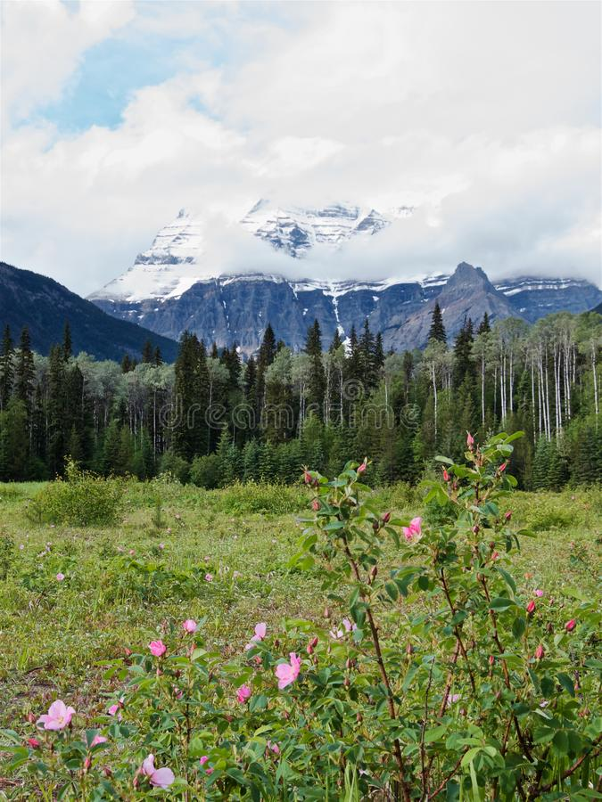 Bushes of wild roses at the foot of Mount Robson royalty free stock images