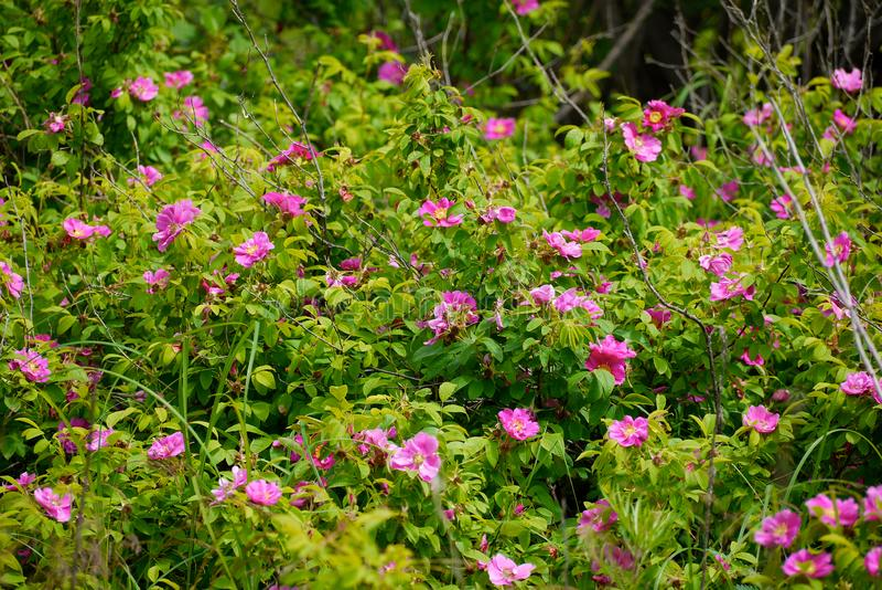 Bushes of wild roses among green foliage royalty free stock image