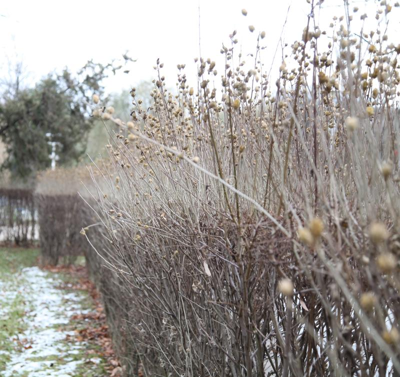 Bushes in winter royalty free stock photo