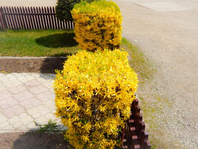 Bushes with yellow flowers with a walkway royalty free stock photography