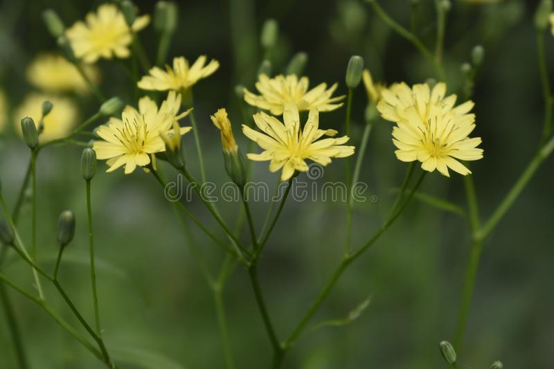 Bushes of yellow and white wildflowers in a summer forest royalty free stock photo
