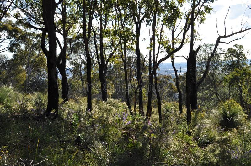 Forest with Grass trees, after a controlled fire to guard against wildfire, Australia. Bushland after controlled burning for fire control, Whistlepipe Gully Walk royalty free stock images