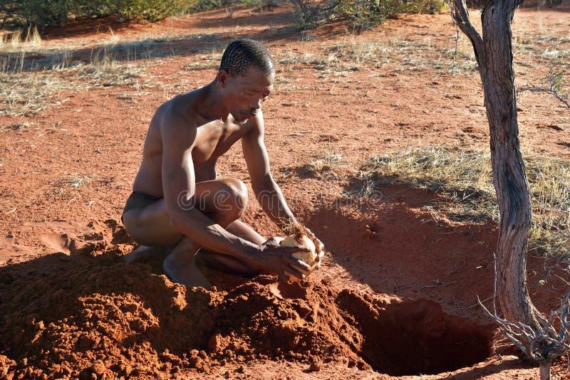 Bushmen hunter in the Kalahari desert, Namibia. KALAHARI, NAMIBIA - JAN 24, 2016: Bushmen hunter buries ostrich egg with water for next time. San people, also stock image