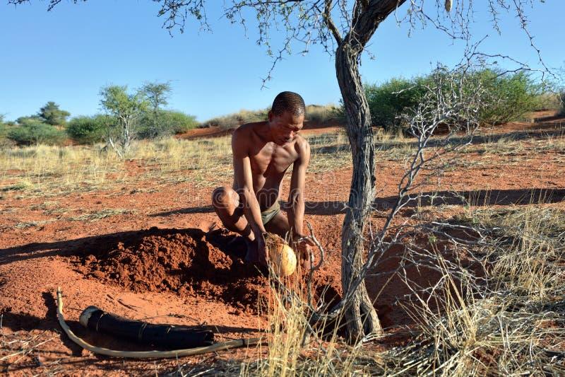 Bushmen hunter in the Kalahari desert, Namibia. KALAHARI, NAMIBIA - JAN 24, 2016: Bushmen hunter buries ostrich egg with water. San people, also known as Bushmen royalty free stock photos