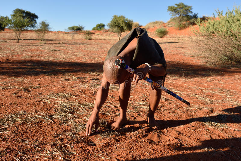 Bushmen hunter in the Kalahari desert, Namibia. KALAHARI, NAMIBIA - JAN 24, 2016: Bushmen hunter checks an animals traces on the ground. San people, also known stock photo
