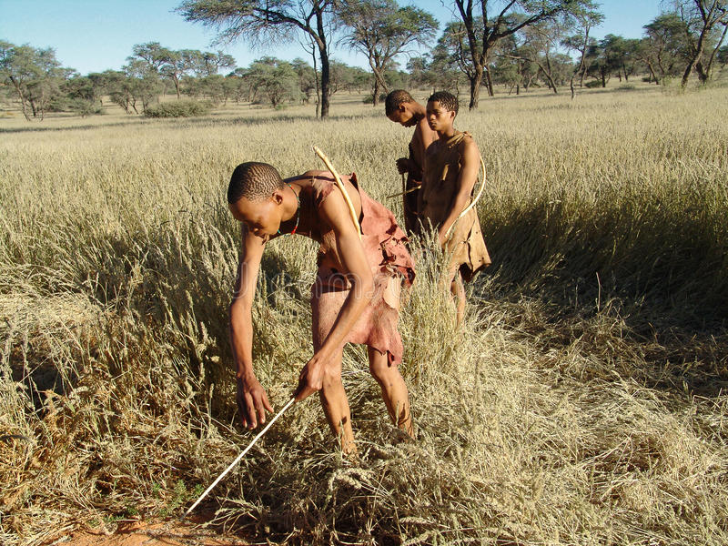 Bushmen hunters in a fields search stock images