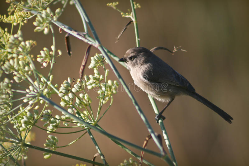Download Bushtit stock image. Image of tail, grey, small, feathers - 17802197