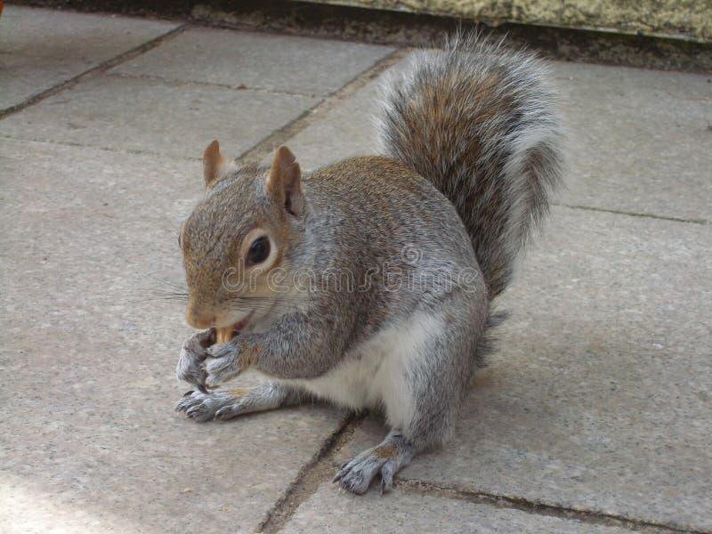 Bushy Squirrel eating a Peanut stock photo