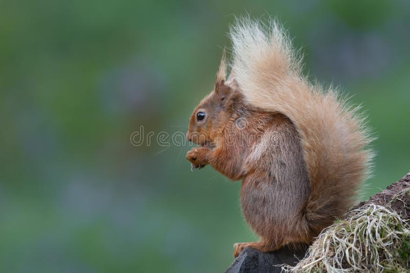 Classic pose of a red squirrel royalty free stock photos