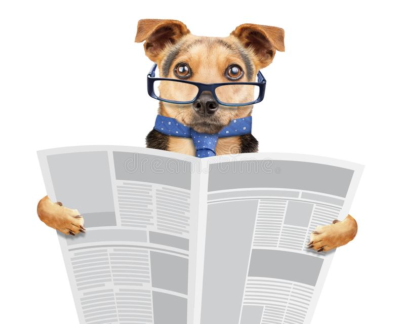 Business dog wearing glasses and tie reading newspaper isolated royalty free stock image