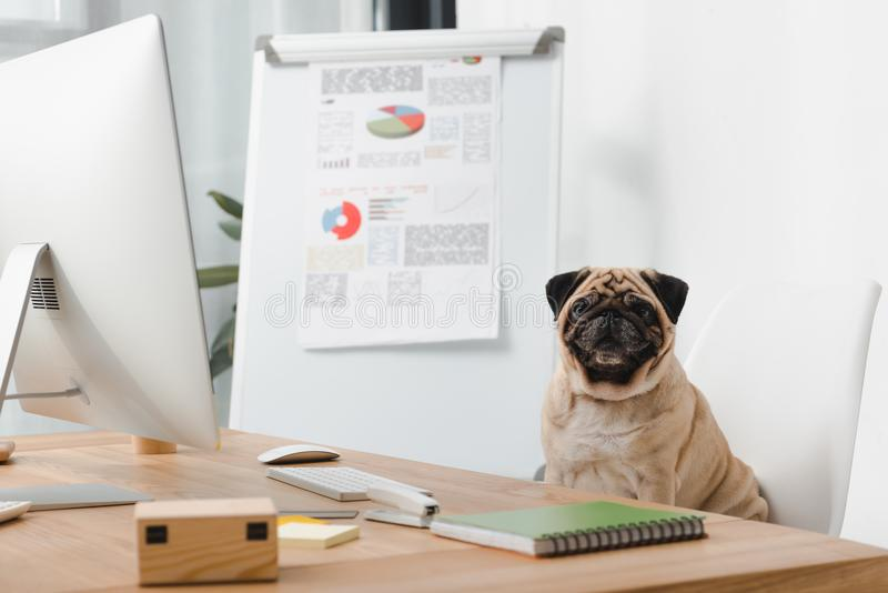 Business dog at workplace. Business dog looking at camera while sitting at workplace royalty free stock images