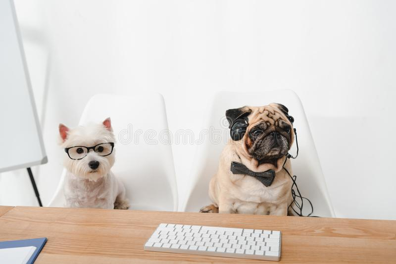 Business dogs at workplace stock image
