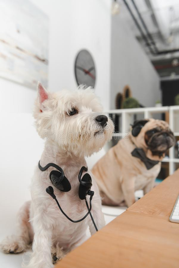 Business dogs with headsets stock photo