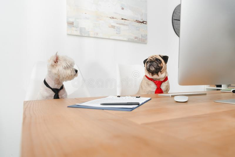 Business dogs in office royalty free stock images