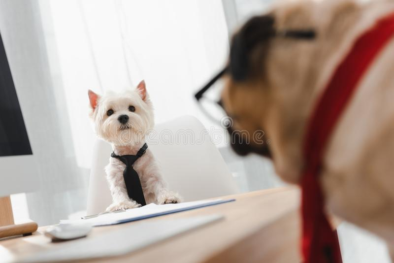 Business dogs in office stock photo