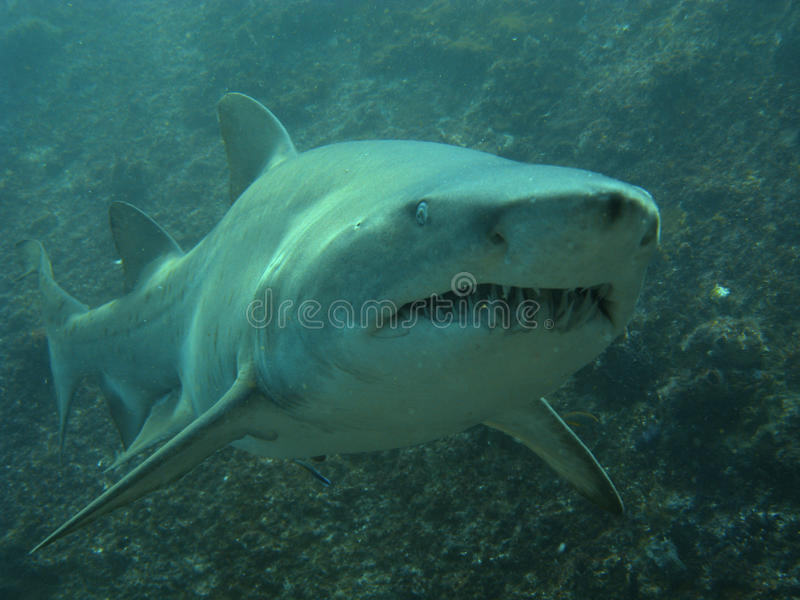 Business end of a grey nurse shark stock image