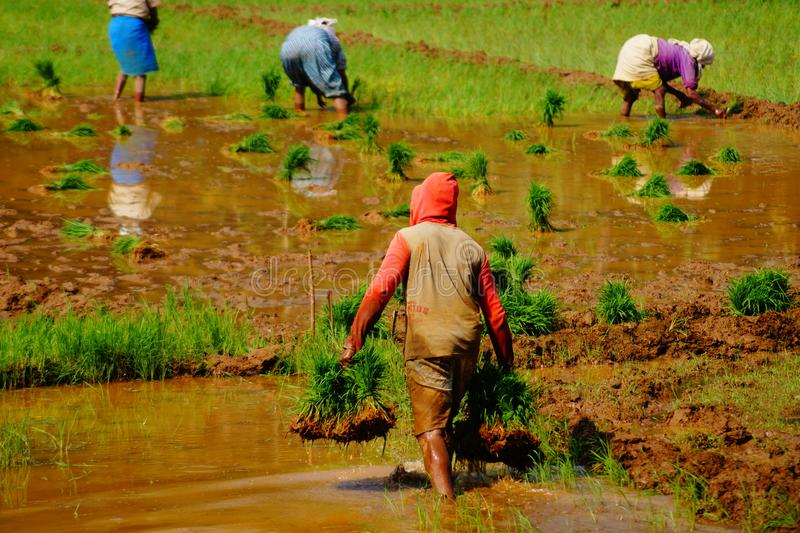 Business in India. Farmers plowing rice field royalty free stock image