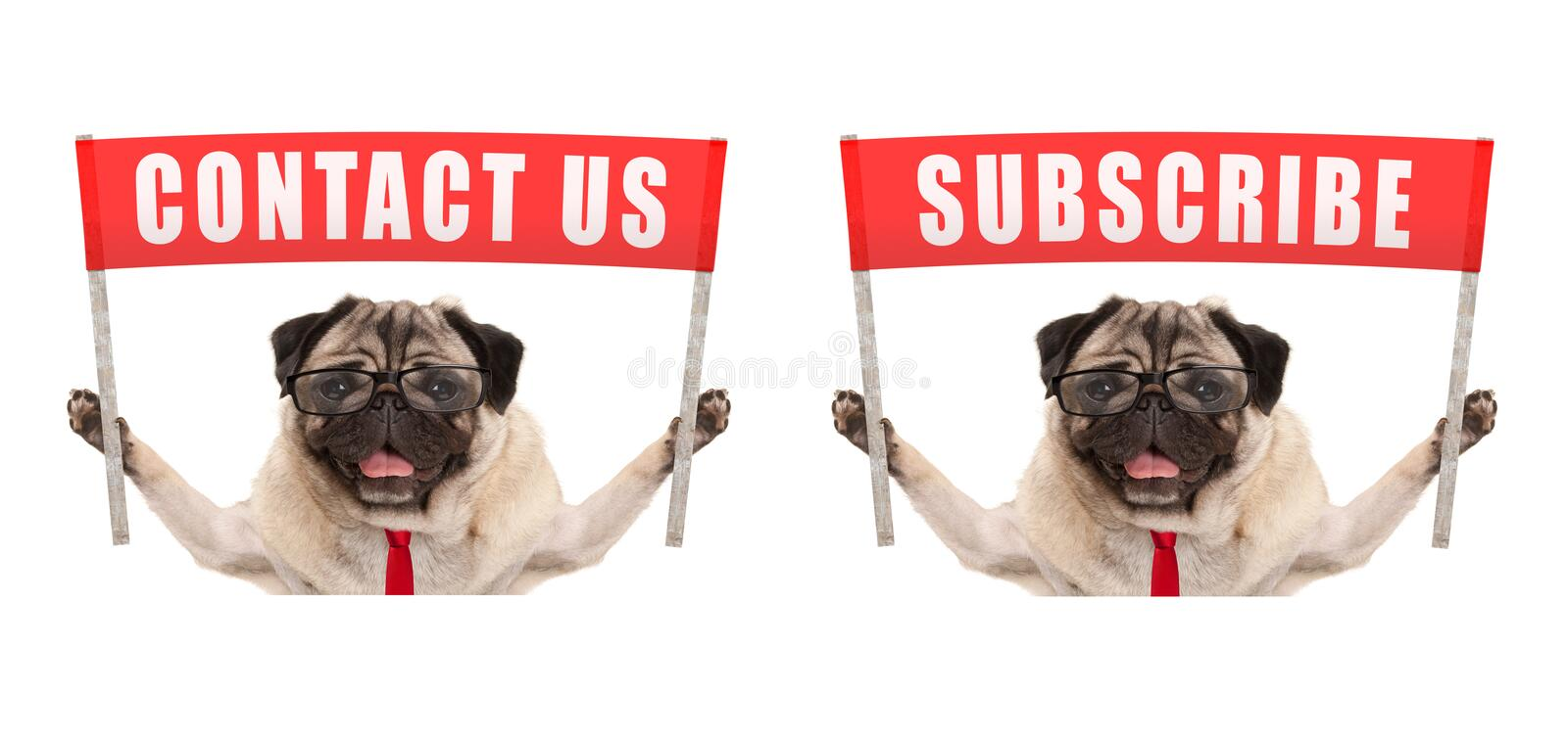 Business pug dog holding up red banner sign with text contact us and subscribe. Isolated on white background stock image