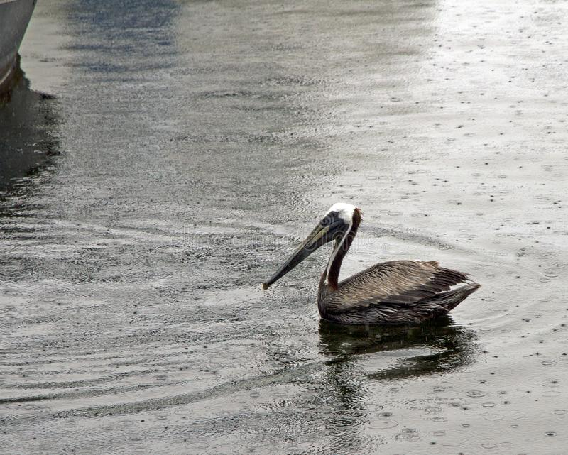Solitary Pelican Floating in the Rain. On a business trip to Destin Florida I was happy to discover a plethora of birds on the boardwalk area. Even in the rain I stock images