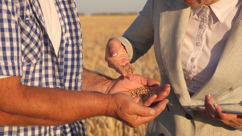 Business woman checks quality of grain in hands of farmer. close-up. business woman with tablet and farmer teamwork in. Business women checks quality of grain in stock image
