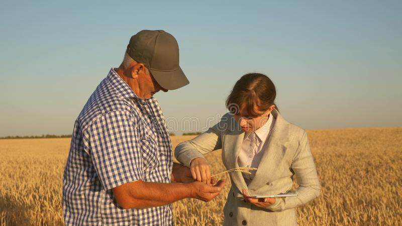 Business woman with tablet and farmer teamwork in a wheat field. farmer holds a grain of wheat in his hands. A business. Business women with tablet and farmer royalty free stock photography