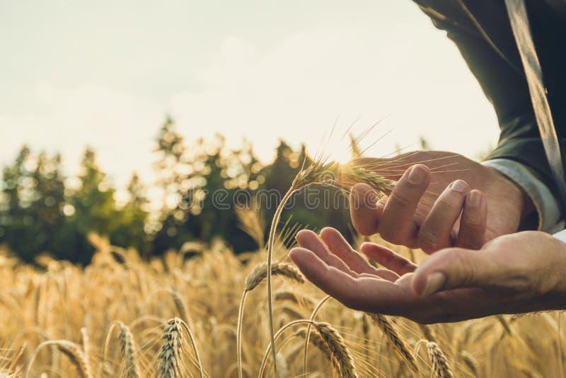 Businessman carefully holding ripening golden wheat ear stock photography