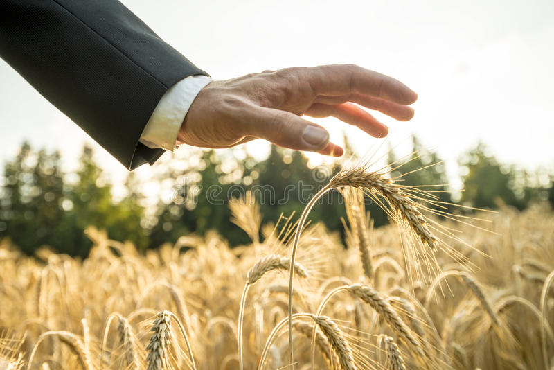 Businessman or environmentalist holding a palm of his hand above. An ear of ripe golden wheat in a wheat field at sunset backlit by the golden sun stock photos