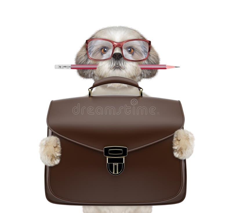 Businessman shitzu dog with suitcase or bag isolated on white royalty free stock photos