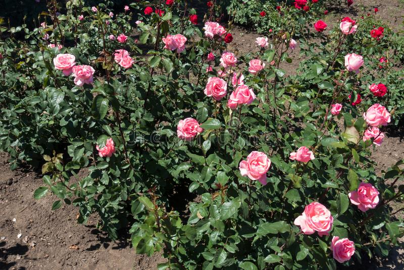 Buskar av rosa rosor i blom royaltyfri foto
