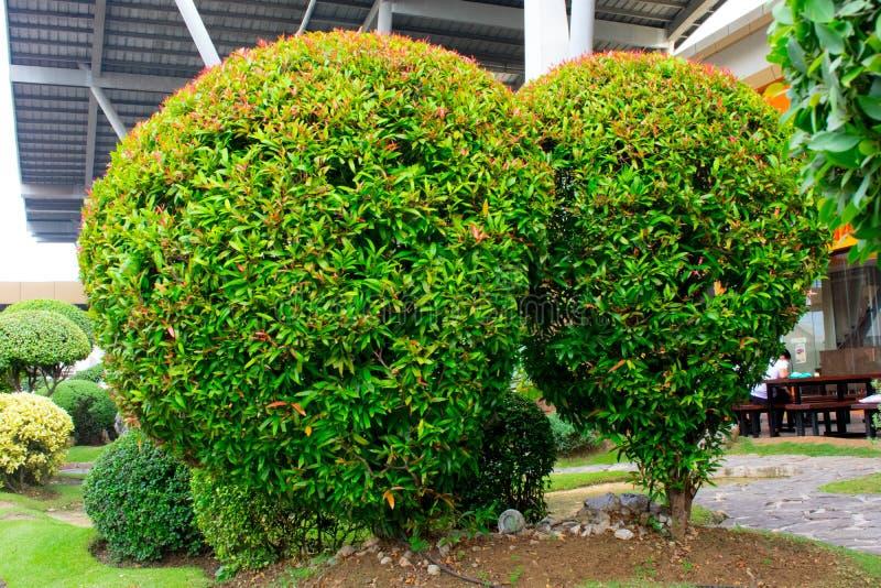 Buskar för en buxbom i en grönaktig trädgård arkivbilder