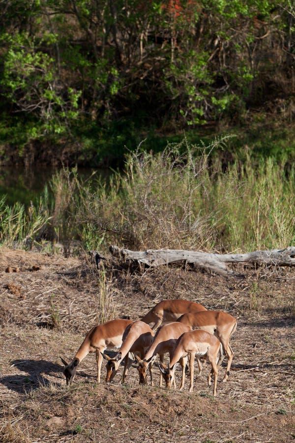buskar som matar gazelles, beviljar s royaltyfria bilder