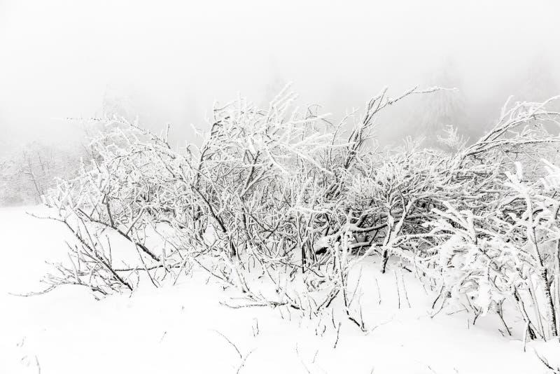 Buskar som täckas med snö arkivfoton
