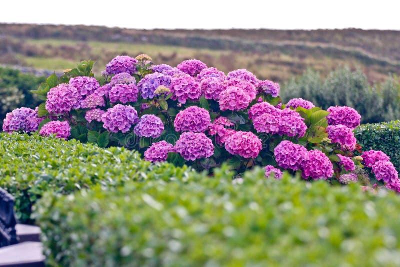 Buske av purpurfärgade vanlig hortensiablommor royaltyfri foto