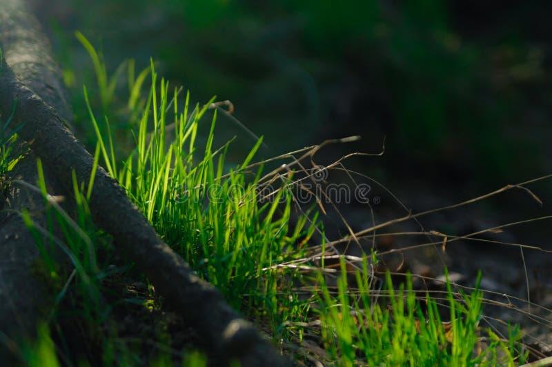 Buske för grönt gräs på ängen fotografering för bildbyråer