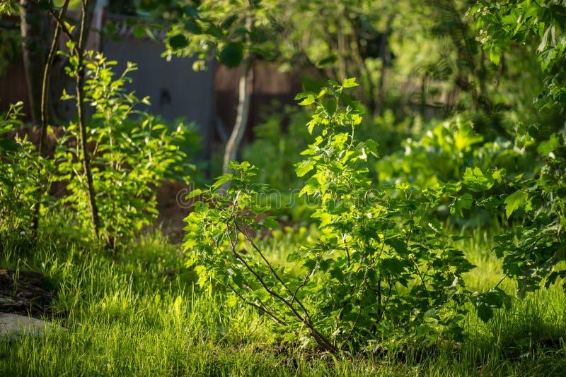 Buske för röd vinbär med i den tidiga våren på bakgrunden av magiträdgården mycket av grönt gräs under den ljusa solen arkivfoton