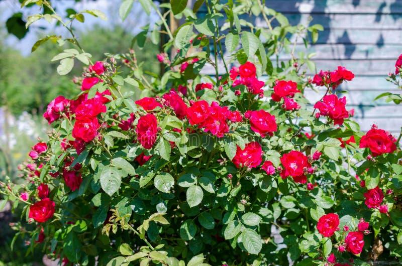Buske för röda rosor i trädgård på ljus sommardag arkivbild