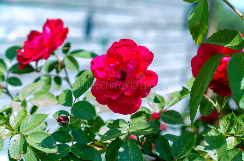 Buske för röda rosor på grön trädgårdbakgrund royaltyfri foto