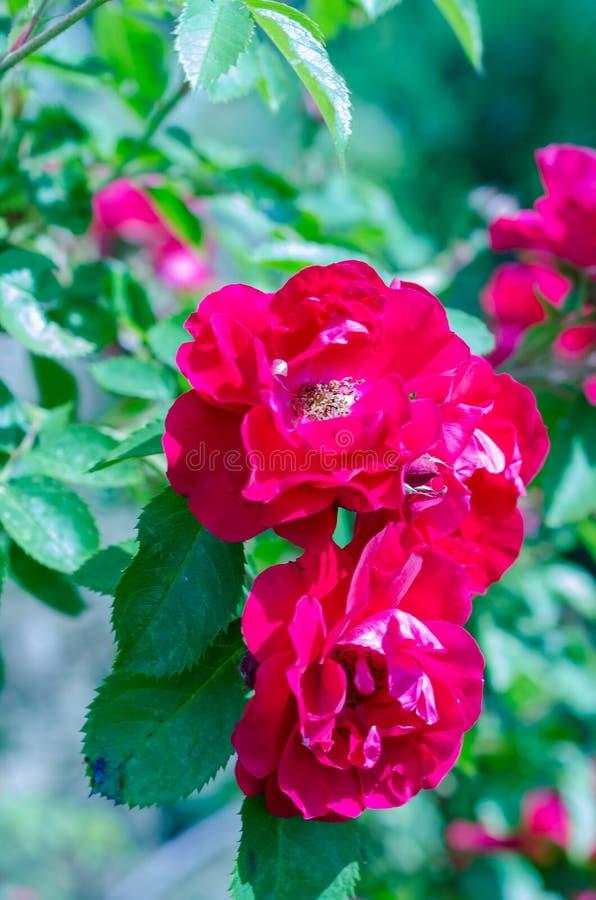 Buske för röda rosor på grön trädgårdbakgrund arkivbilder