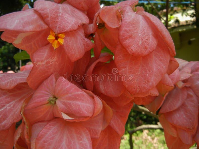 Buske för tropisk skogskornell för Mussaenda erythrophylla vintergrön royaltyfri foto