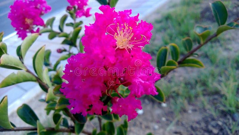 buske med rosa blommor fotografering för bildbyråer