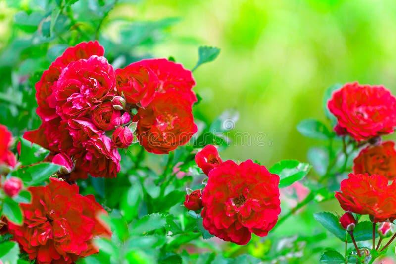 Busken av ljusa röda rosor i trädgården på en grön bakgrund royaltyfria foton