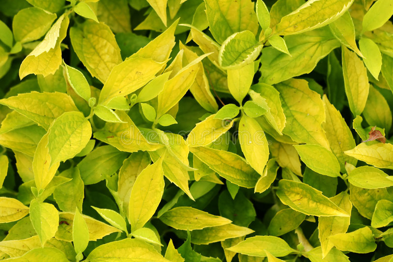 busken låter vara texturyellow royaltyfria bilder