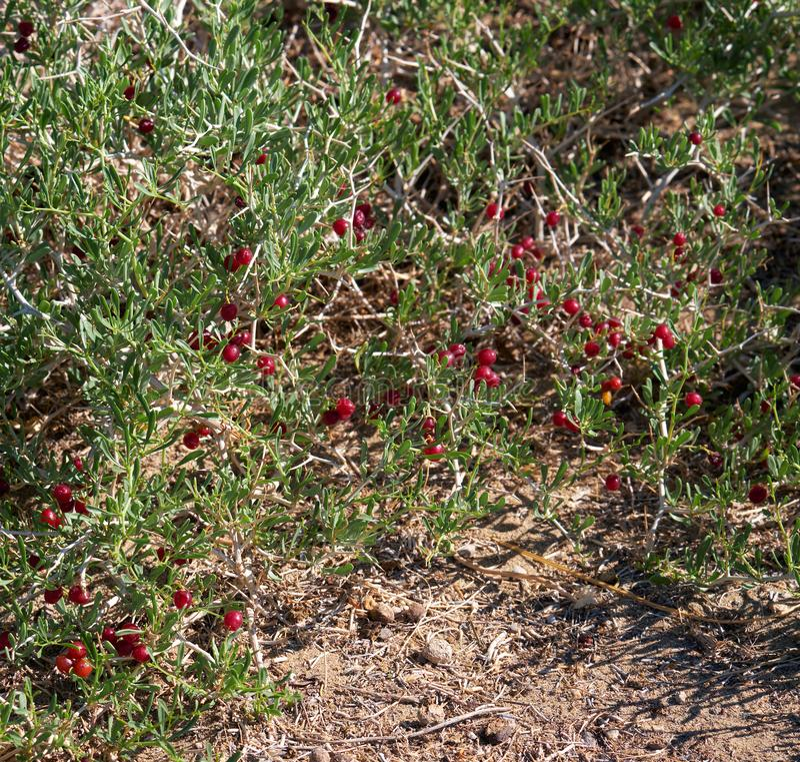 BuskeNitraria sibirica med röda bärfrukter i mongolian ointressant öken i västra Mongoliet arkivfoton