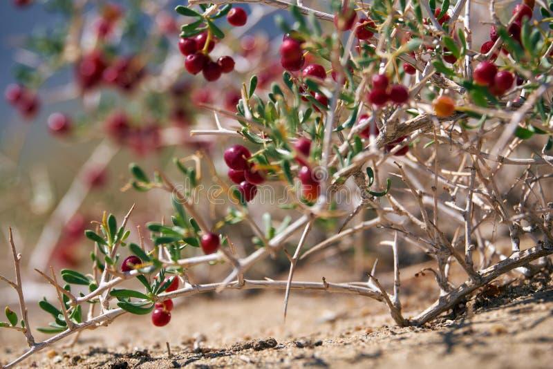 BuskeNitraria sibirica med röda bärfrukter i mongolian ointressant öken i västra Mongoliet arkivfoto
